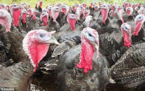 "A ""committee"" of gobbling turkeys"